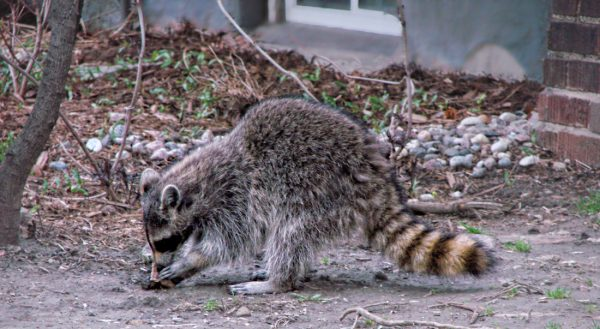 24 Hour Animal Control in NYC, Brooklyn, Bronx, Queens, Staten Island, call 646-741-4333 today! Humane Animal Control · Squirrel Removal · ‎Raccoon Removal · ‎Bird Removal · ‎Dead Wildlife · Mice and Rat Control