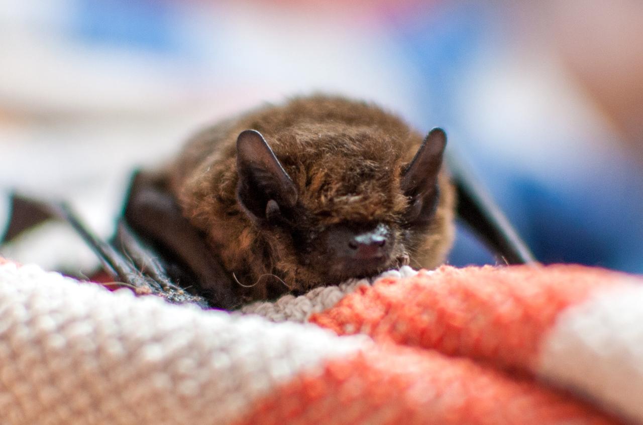 bat removal, bat control,