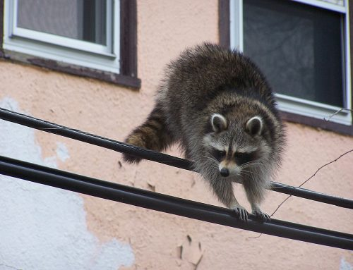 Signs that a Raccoon Has Rabies