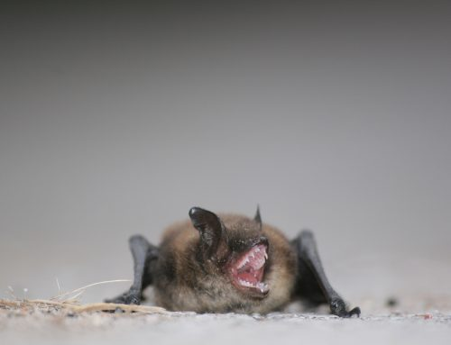 Signs of Bats on Your Property