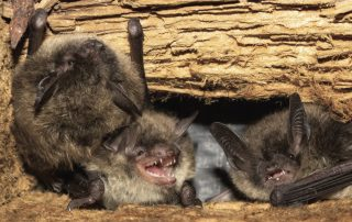 Bat Control and Removal Services