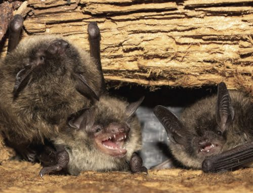 What is Humane Bat Removal?