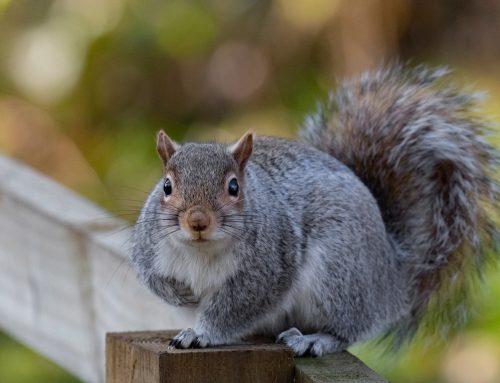 What Makes Squirrels Dangerous?