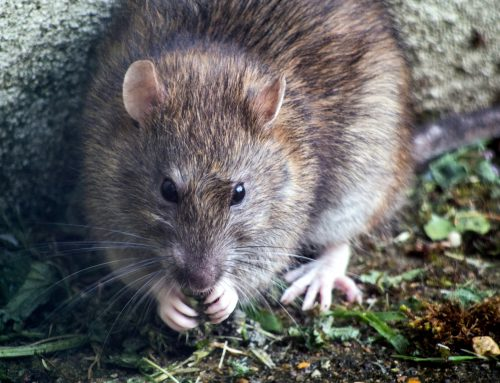 Emergency Commercial Rat Removal – Our 24 Hour Services