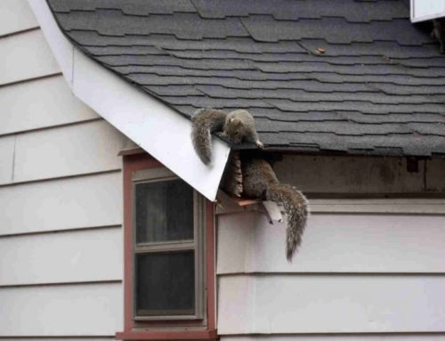 What Kinds of Damage Can Squirrels Do?