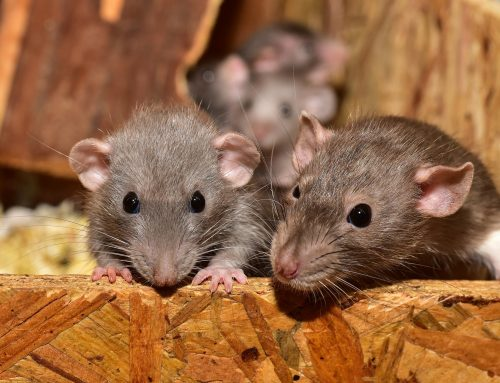 How to Tell the Difference Between a Mouse and Rat Invasion