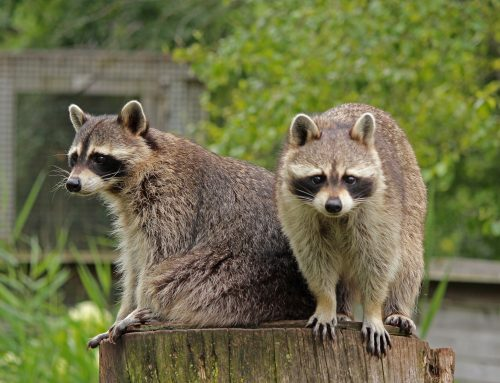 Why You Should ALWAYS Stay Away from a Raccoon During the Day