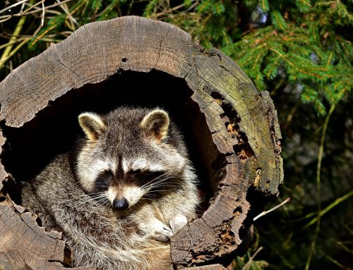 Where Do Raccoons Hide on NYC Properties?
