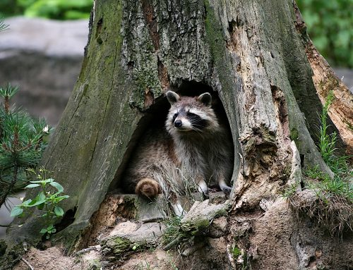 Where Do Raccoons Live During the Day?
