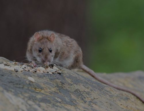 How Do We Find Entrance Points for Mice and Rats