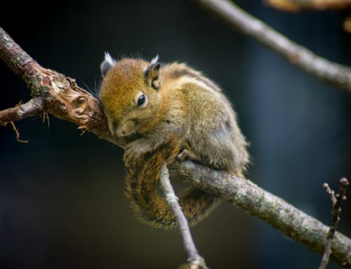 Chipmunks or Squirrels: Which Pest Wildlife is Worse for Your Property?