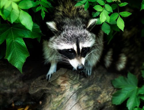 Repairing Damage Left from a Raccoon Infestation
